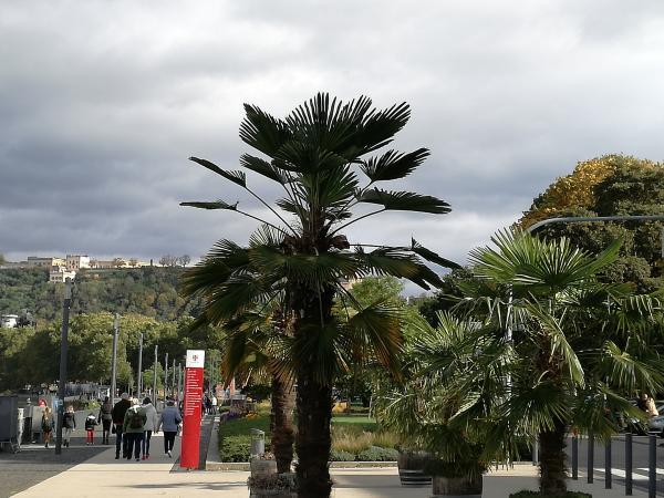 Palmen am Moselstrand in Koblenz. Ohne geht gar nix!
