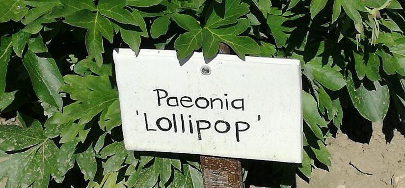 Poenia Lollipop und die Erwähner